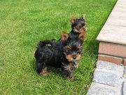 Йоркширского терьера щенки (мини и стандарт).....